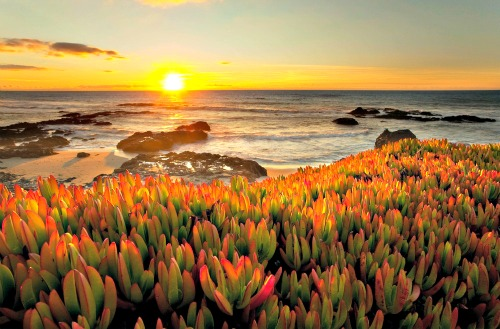 Sunset With Reddish Ice Plant At The Beach