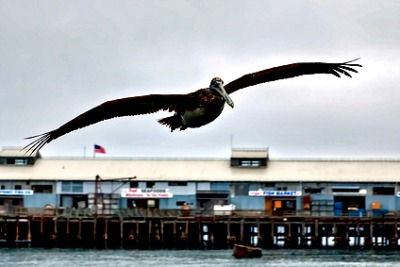 Pelican on Cannery Row Monterey Ca