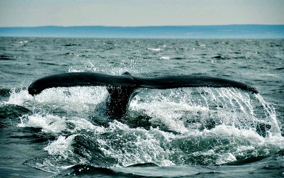 Monterey Bay Humpback whale tail fin