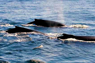 Small pod of whales on the Monterey bay