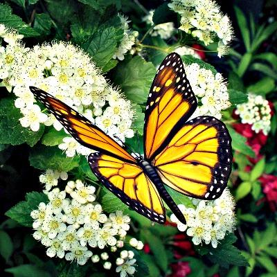 Full Grown Monarch Butterfly Feeding On Hydranga