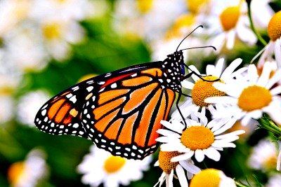 Female Monarch Butterfly At Rest